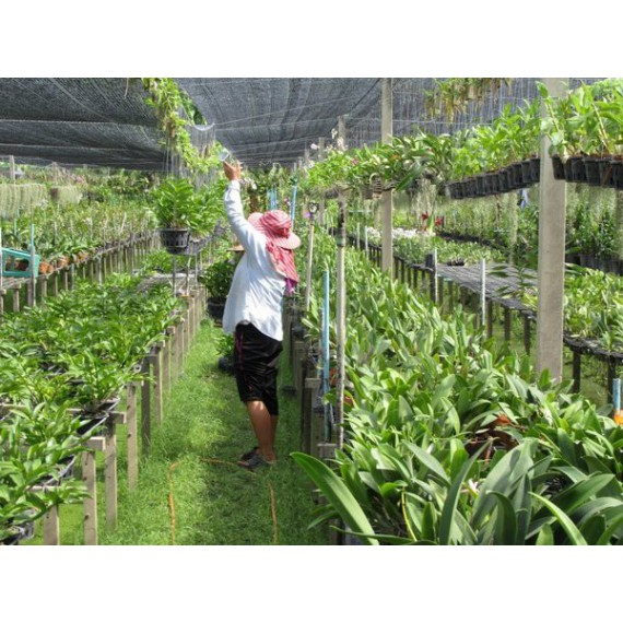 VIDEO - Công nghệ trồng lan...